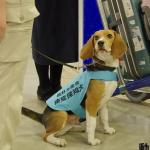 空港の検疫探知犬の犬種と大事な仕事内容